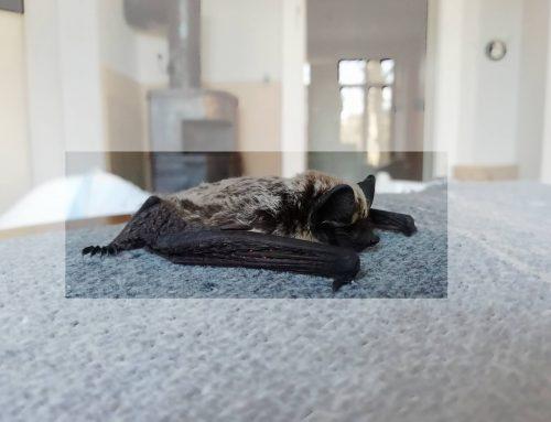Fledermausschutz an Gebäuden